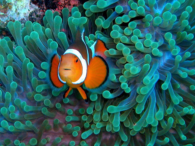 #015 clownfish by Flickr User Nemo's Great Uncle